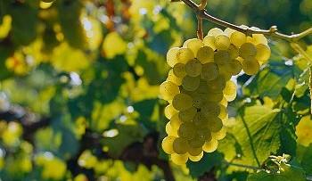 Raccogliamo le uve bianche