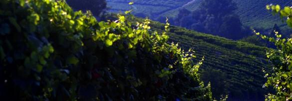 vigne Piacentini 225